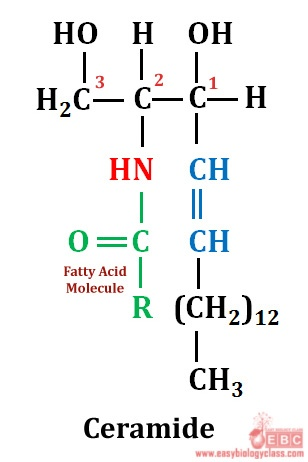 easybiologyclass, N acyl fatty acid derivative of sphingosine is called ceramide