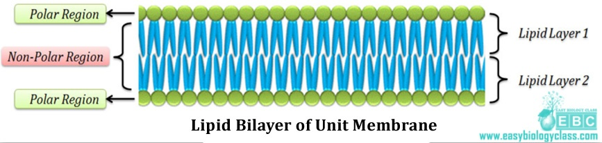 easybiologyclass, plasma membrane structure and organization, lipid bi-layer of plasma membrane