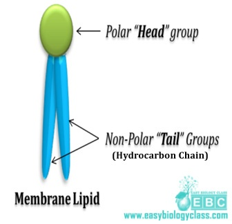 easybiologyclass, membrane lipid: polar head and non-polar tail group