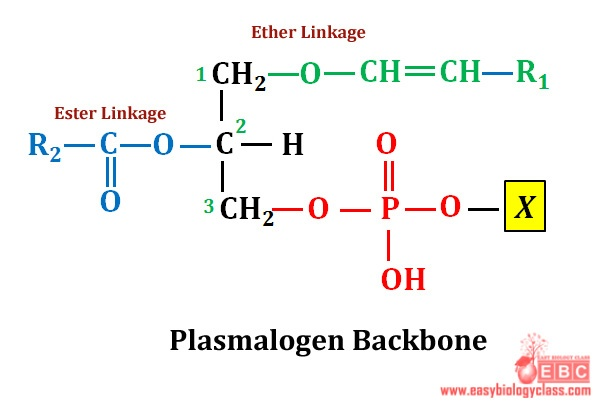 easybiologyclass, Plasmalogen backbone of membrane lipids