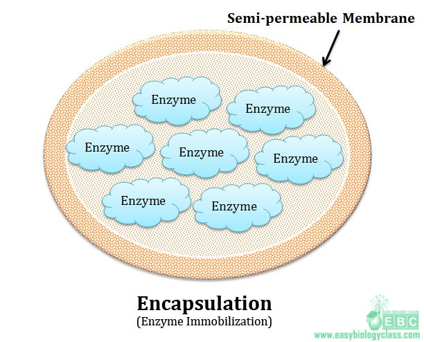 enzyme of whole cell immobilization by encapsulation