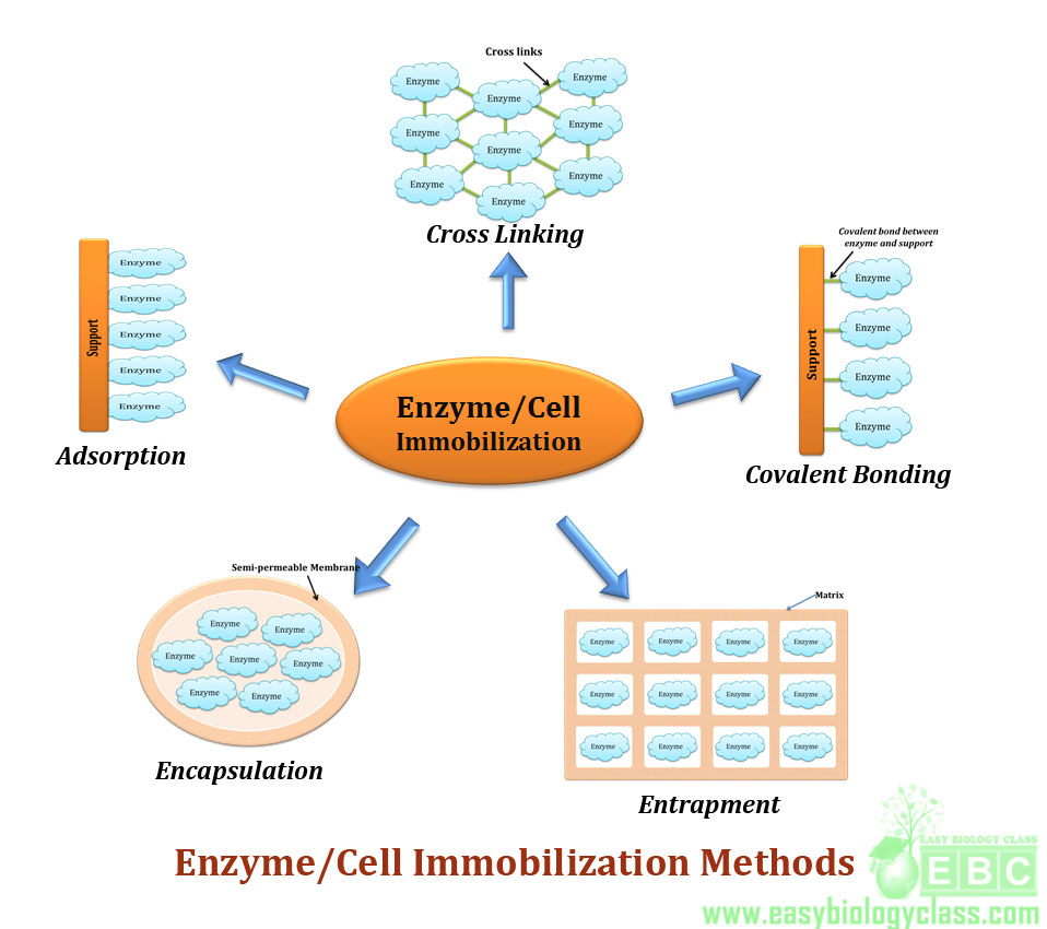 Enzyme immobilization methods