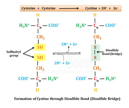 Disulfide bridge in cystine