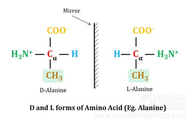 D and L Forms of Amino Acids