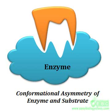 conformational asymmetry of enzyme and substrate