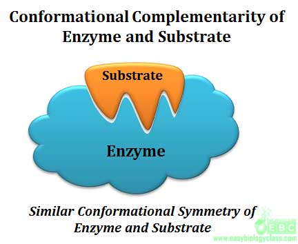 What is Enzyme Substrate Specificity? | easybiologyclass
