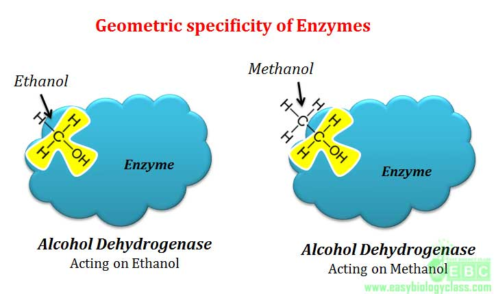 Geometric specificity of enzyme Alcohol dehydrogenase