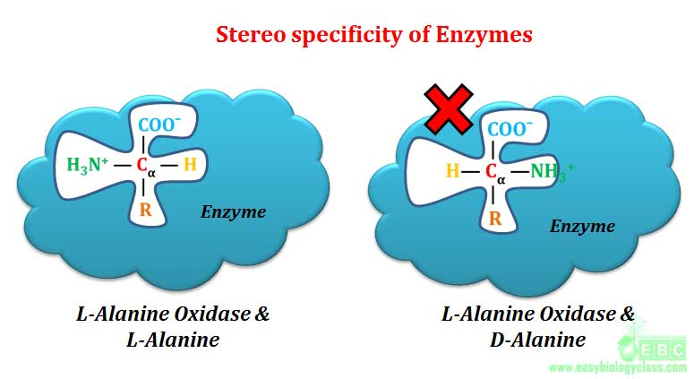 optical specificity of enzyme