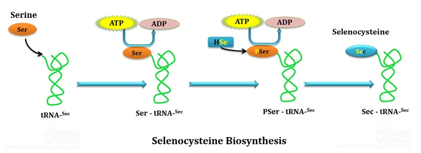 Pathway of biosynthesis of amino acid selenocysteine