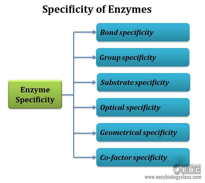 different types of enzyme specificity
