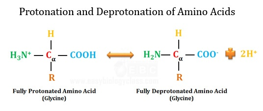 fully protonated and deprotonated amino acid