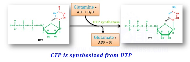 biosynthesis of CTP