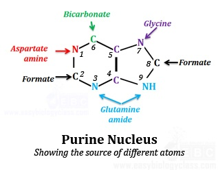 Purine pyrimidine synthesis de novo easybiologyclass source of atoms in purine nucleotide ccuart Image collections