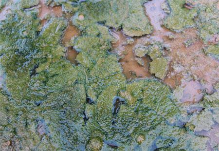 General appearance of algae
