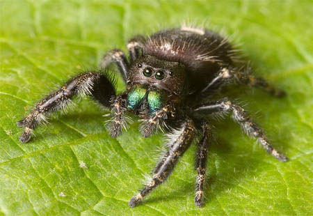 What is chelicerae