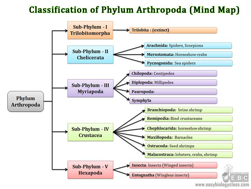 Arthropoda Classification  Subphylum  Classes