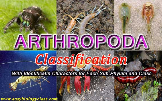 How Arthropods further classified