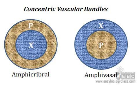 amphicribral and amphivasal vascular bundles