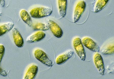 Thallus organization in algae