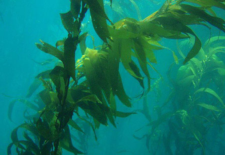 Which is the largest algae