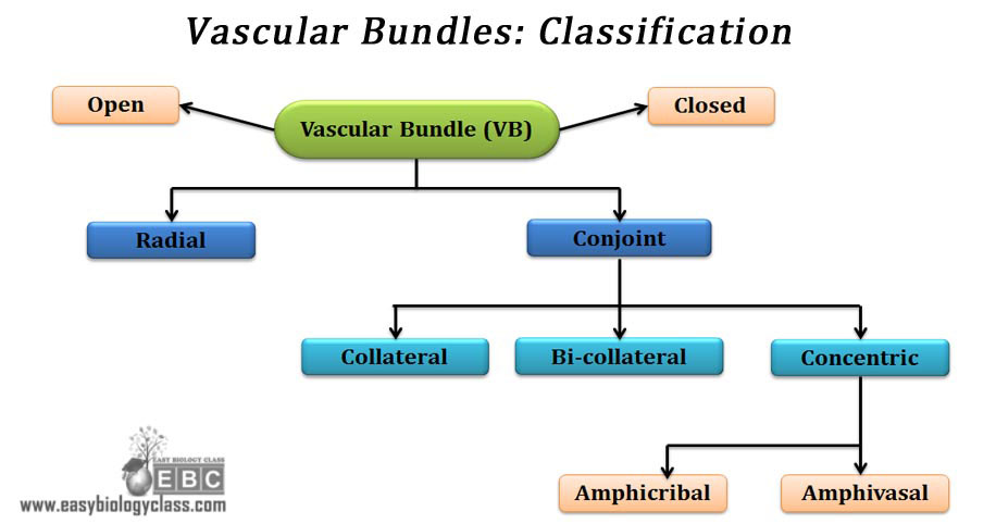 classification chart of vascular bundles mind map