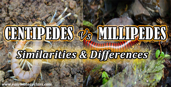 Centipedes Vs Millipedes Similarities and Differences