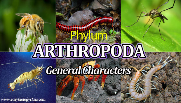 what are the general characters of phylum arthropoda