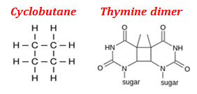 What is Thymine Dimer