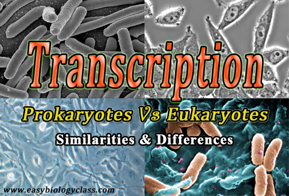 Transcription in Prokaryotes and Eukaryotes