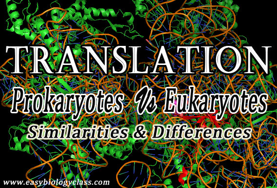 Prokaryotic and Eukaryotic Translation