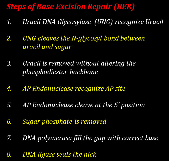 lecture notes on dna repair BER
