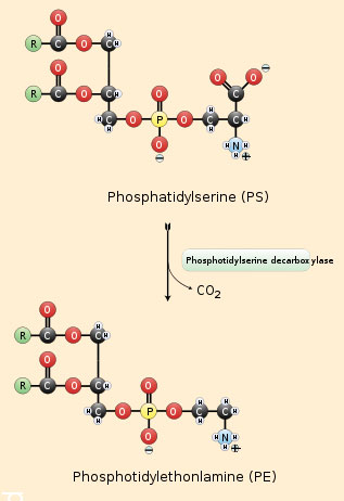how phospatidylethanolamine is synthesized