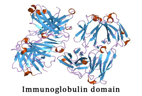 What is immunoglobulin domain
