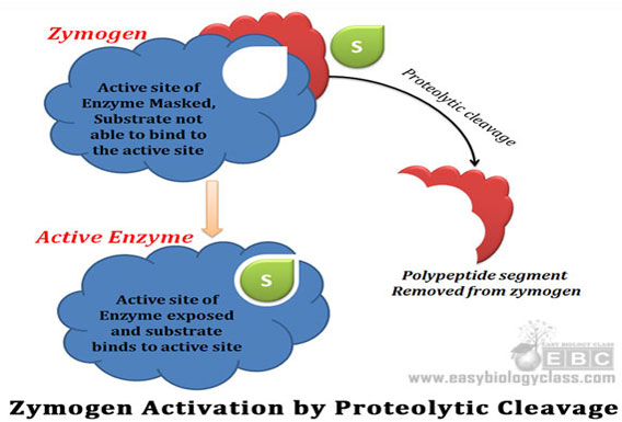 what are regulatory enzymes