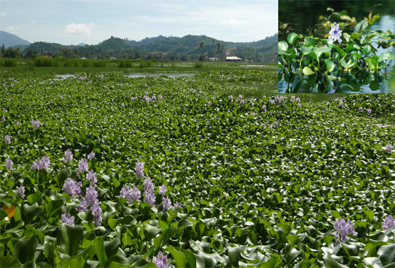 Effect of Eichornia on Environment and Biodiversity