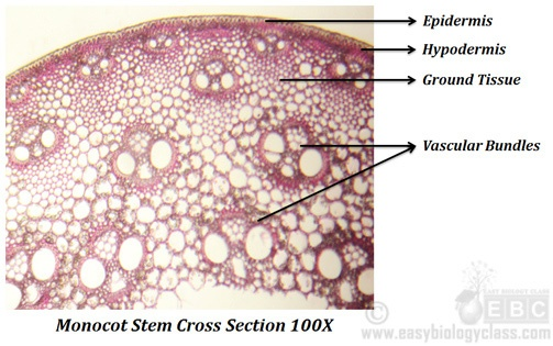 Anatomy of monocot and dicot stem