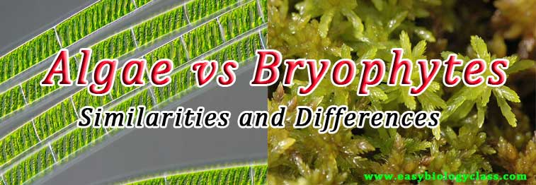 difference between bryophytes and algae