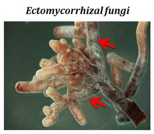 what is ectomycorrhiza