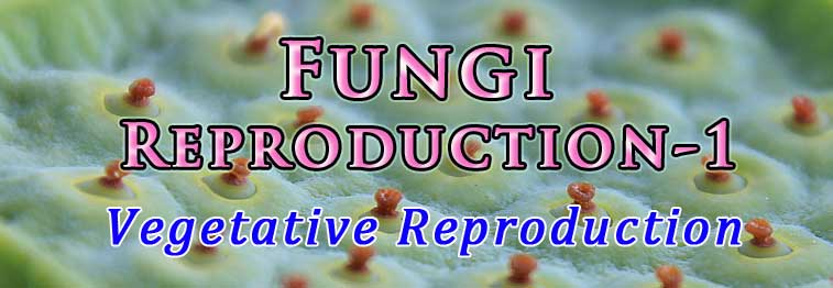 how fungi reproduce vegetatively