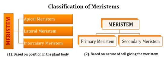 apical meristematic tissue
