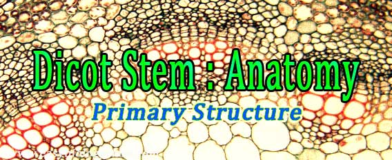 dicot stem under microscope  plant anatomy ppt