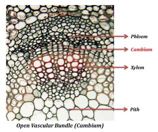 open vascular bundle