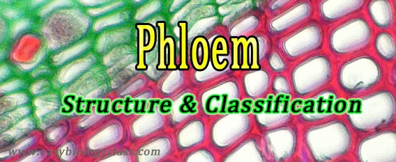cell types in phloem