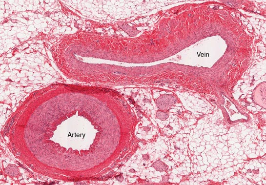 Difference between Arteries and Veins (Table) | easybiologyclass