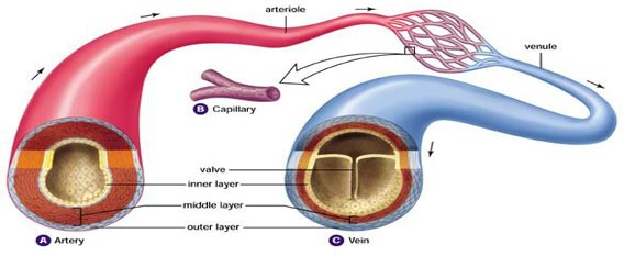 Difference Between Arteries And Veins Table Easybiologyclass