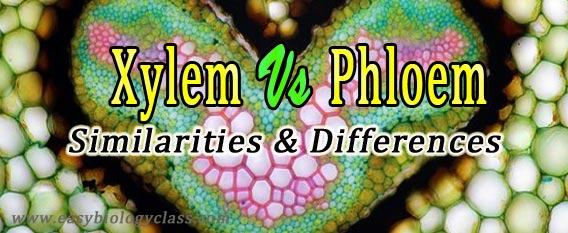 Xylem and Phloem Notes