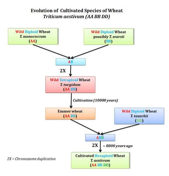 origin of cultivated wheat triticum aestivum