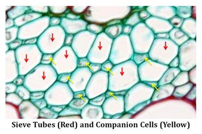 what is companion cells