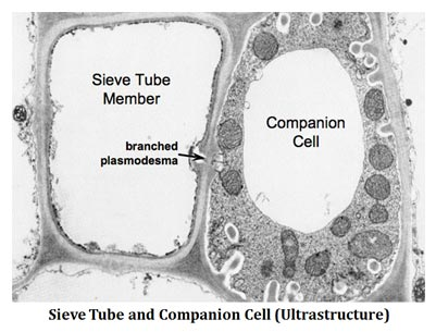 sieve tubes and companion cells