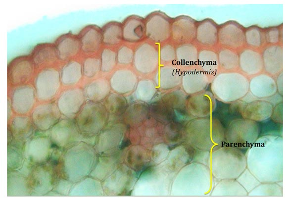 tissue system in plants
